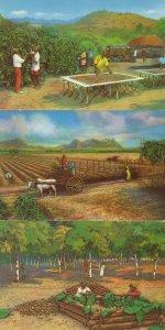Diorama Cocoa Farmer Farming Africa 3x Postcard s