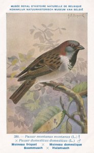 Eurasian Tree Sparrow Passer Montanus Old WW2 Bird Rare Postcard
