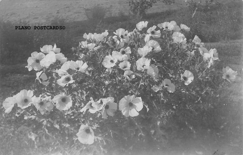AGUSTA, KANSAS BLOOMING BUSH ENTERED IN  PHOTO CONTEST RPPC REAL PHOTO P.C.