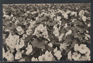 Netherlands Postcard - Aalsmeer Flowers - Een Kas Met Bloeiende Begonia's  T5871