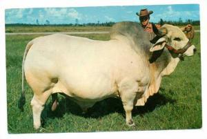 Grand Champion Brahman Bull EMPEROR MANSO 24th, Florida, 40-60s