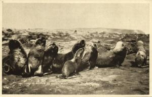 Falkland Islands, Sea Lions in rather an Angry Mood (1930s)