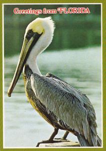 Pelican Greetings From Florida