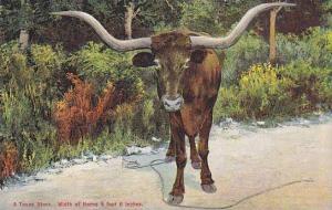 A Texas Steer, Width of Horns 9 feet 6 inches, Texas,00-10s