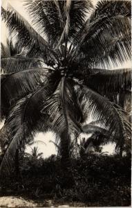 SINGAPORE PC REAL PHOTO Palm Tree (a1488)