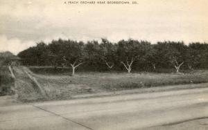 DE - Georgetown. A Peach Orchard