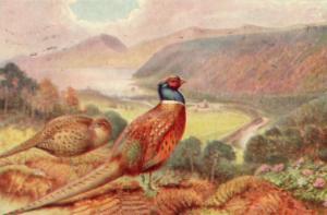 Pheasant Tucks Oilette Old Bird Postcard