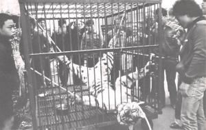 Taiwan China Bound up Tiger awaits butcher's knife Taiwan Bound up Tiger awai...