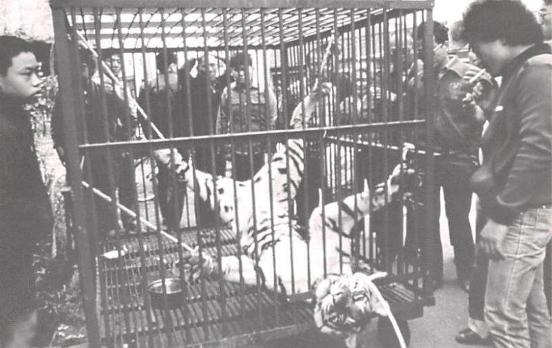 Taiwan China Bound up Tiger awaits butcher's knife Taiwan Bound up Tiger awai...
