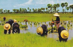 Cultivation of Rice, Making the Tender Rice Plants into Sheaves for Replantin...