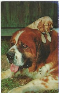 1960's St. Bernard Dog Animal Pet Lusterchrome Chrome Postcard