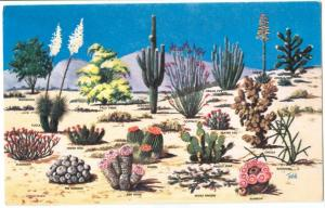USA, Cacti and Desert Flora, The Great Southwest, unused Postcard