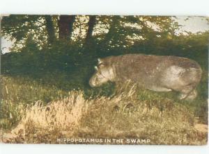 1911 Close-Up HIPPOPOTAMUS HIPPO ON ROOSEVELT TOUR IN UGANDA AC5839