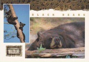 Wyoming Wildlife Black Bear
