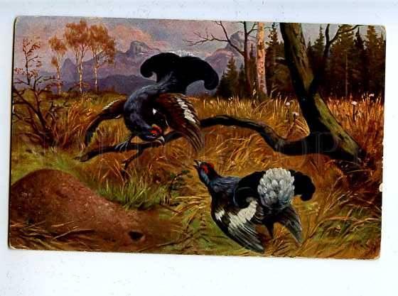 182982 Hunting grouse on lek capercaillie blackcock Vintage