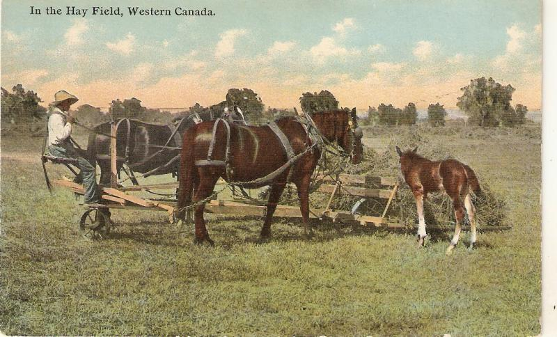 Horses. In the Hay Fields. Wester Canada Antique postcard
