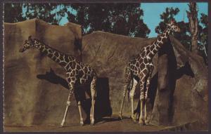 Giraffes,San Diego Zoo,CA Postcard