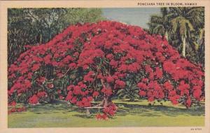 Hawaii Honolulu Ponciana Tree In Bloom