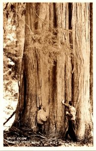 Washington Olympic Peninsula Huge Cedar Tree Real Photo