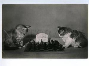 153944 1956 Puss KITTENS playing CHESS Old photo postcard