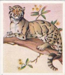 Godrey Phillips Cigarette Card Animal Studies No 27 Clouded Leopard