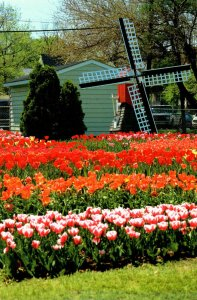 Michigan Holland Tulips and Windmill
