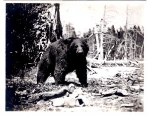 Haynes 31700, A Park Bear, Yellowstone National Park