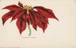 Poinsetta Flower , California , 1901-07