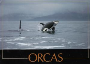 ORCAS, 50-60s ; Two Orcas, One Breaching
