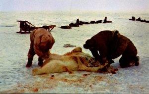Alaska Eskimos Skinning A Polar Bear In The Arctic Region