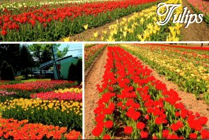 Michigan Holland Tulip Plantings In Fields