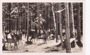 RP, Deer, Wildfutterung Am Hintersee, Germany, 1920-1940s