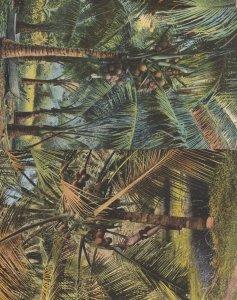 Plucking Coconuts Cocoanuts Ceylon 2x Old Indian Postcard
