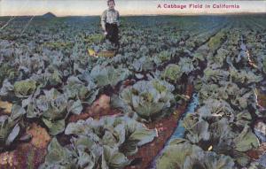 A Cabbage Field In California