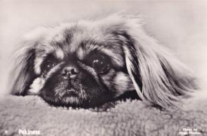 Pekinese Dog Hugh Morton Old Photo Postcard