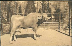 belgium, ANTWERP ANVERS, Zoo, Egyptian Buffalo (1930s) Cow Bull