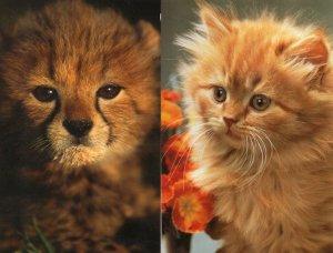 Baby Cat Kitten Cheetah 2x IFAW Protect Wildlife Postcard s