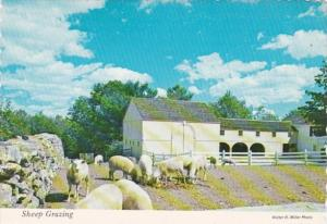 Virginia Sheep Grazing Near Salem Towne House
