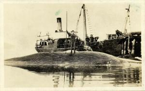 San Clemente Island, Cal., Captured Finback Whale, Whaler (1930) Whaling RPPC