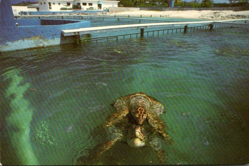 Cayman Islands Garnd Cayman Turtle Farm Resident