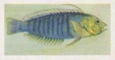 United Tobacco South Africa Vintage Trade Card African Fish 1937 No 34 Wrasse