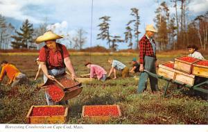 Harvesting Cranberries on Cape Cod, Mass, USA Unused