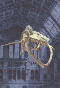 Blue Whale Skeleton Balaenoptera Musculus London Museum Postcard