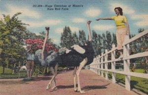 Florida Miami Feeding Huge Ostriches At Rare Bird Farm Curteich sk1350