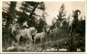Vtg Postcard Byron Harmon Big Horn Sheep Along the Canadian Pacific Railway