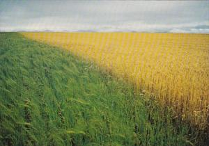 Canada Typical Canadian Wheat Field
