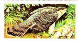 Brooke Bond Tea Trade Card Wild Birds In Britain No 30 Sparrow Hawk