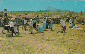Philippines Natives Threshing Palay Or Rice 1962