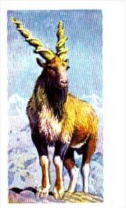 Brooke Bond Trade Card Asian Wildlife No 31 Markhor