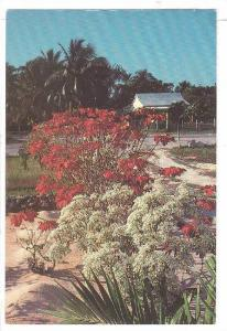 Colorful celebration of crimson Poinsettas and delicate ivory bush, Grand Cay...